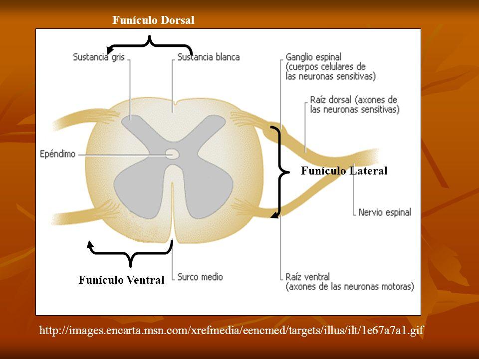 Funículo Dorsal Funículo Lateral. Funículo Ventral.