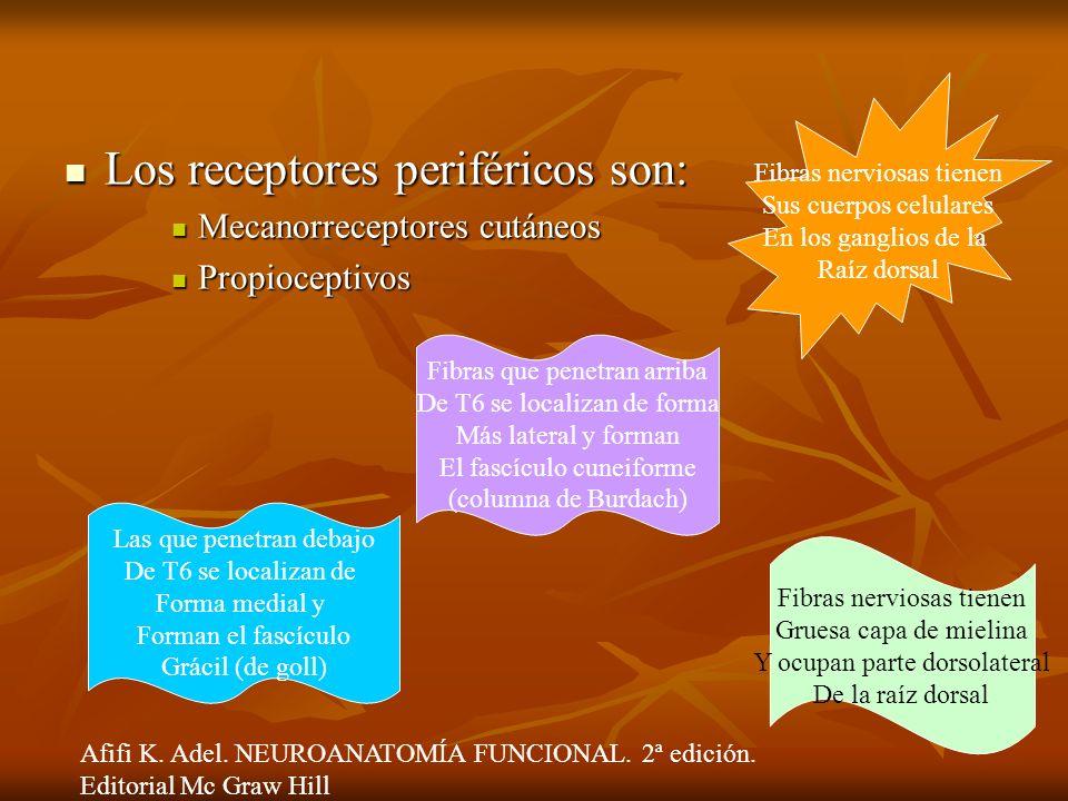 Los receptores periféricos son: