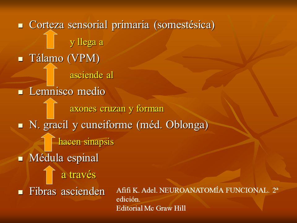 Corteza sensorial primaria (somestésica) y llega a Tálamo (VPM)