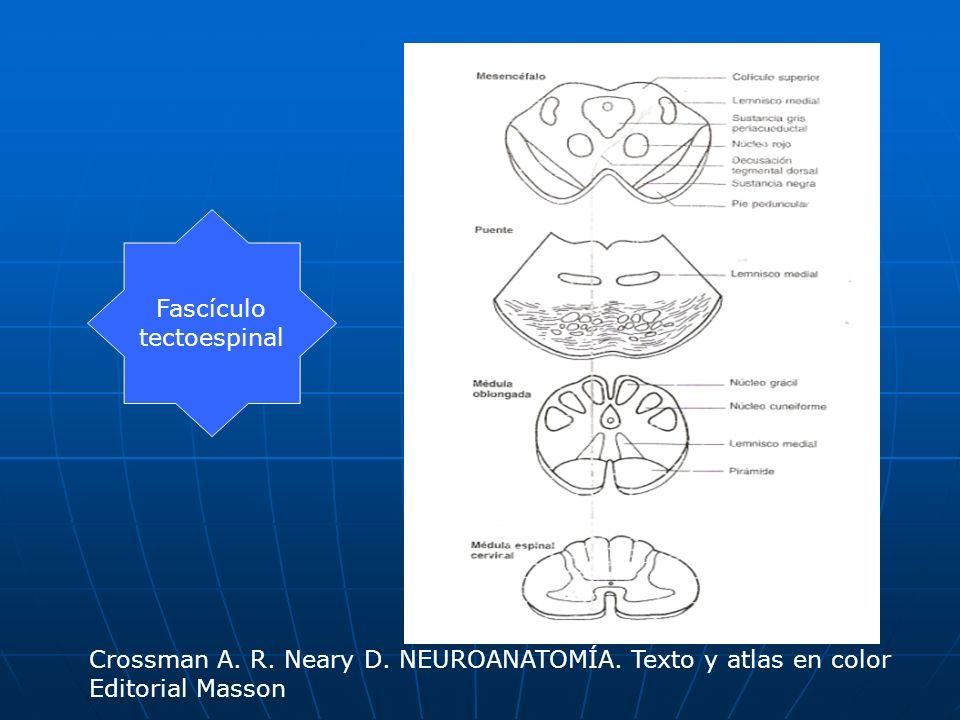 Fascículotectoespinal.Crossman A. R. Neary D. NEUROANATOMÍA.