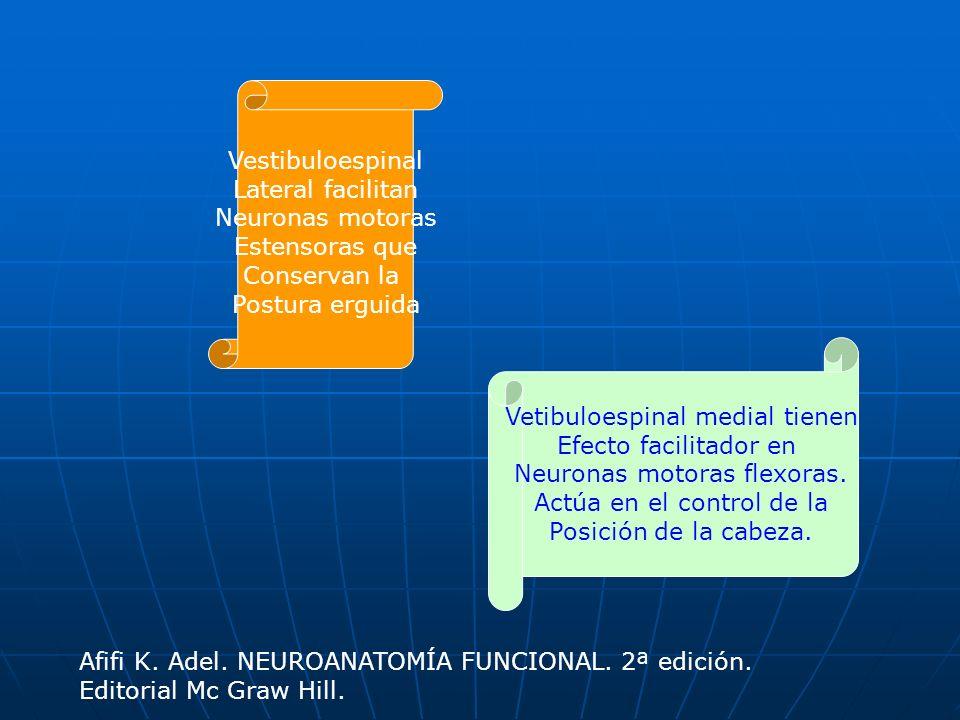 Vetibuloespinal medial tienen Efecto facilitador en