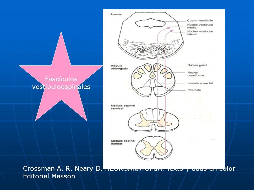 Fascículosvestibuloespinales.Crossman A. R. Neary D.