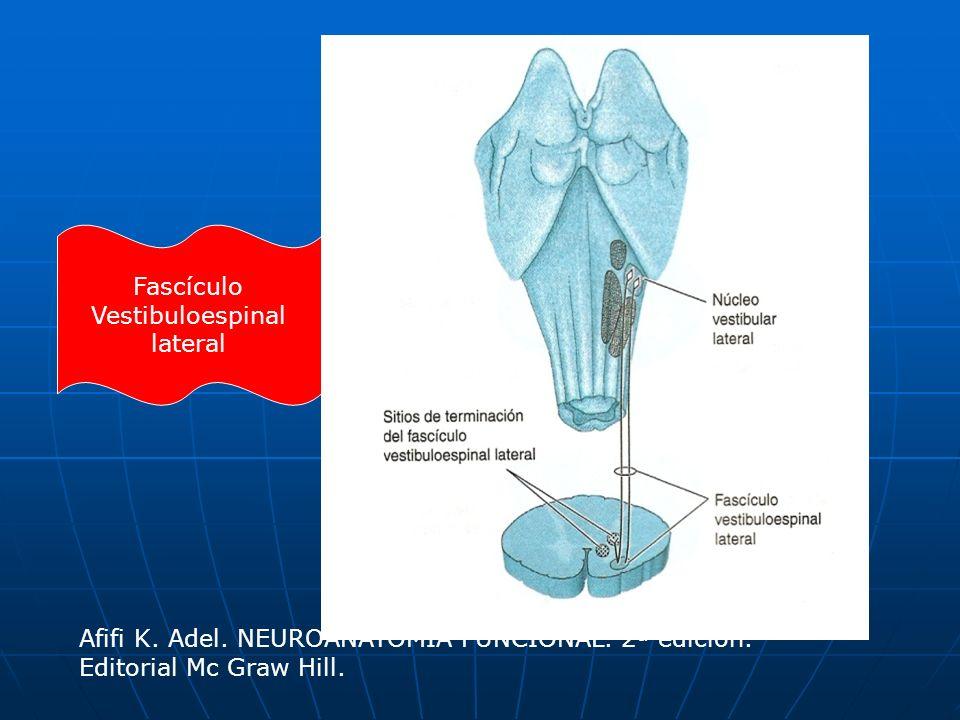 Fascículo Vestibuloespinal. lateral. Afifi K. Adel.