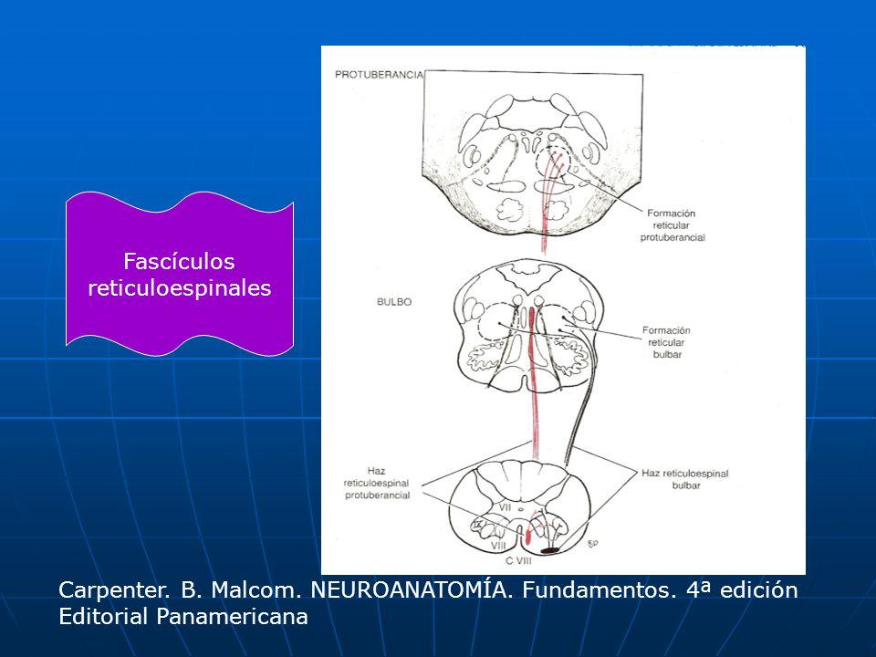 Fascículos reticuloespinales. Carpenter. B. Malcom.