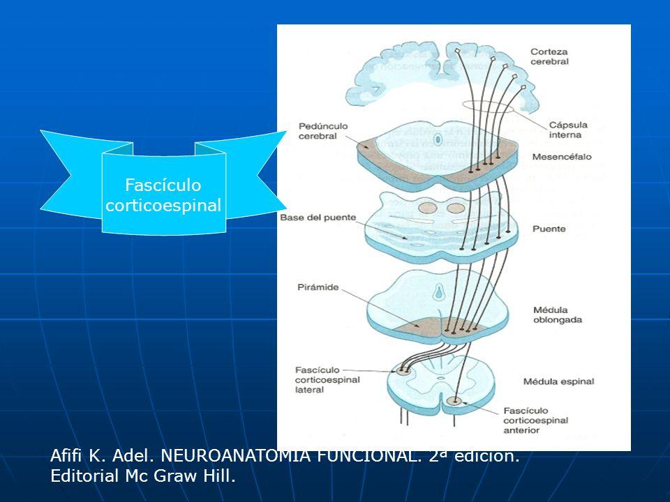 Fascículo corticoespinal. Afifi K. Adel. NEUROANATOMÍA FUNCIONAL.