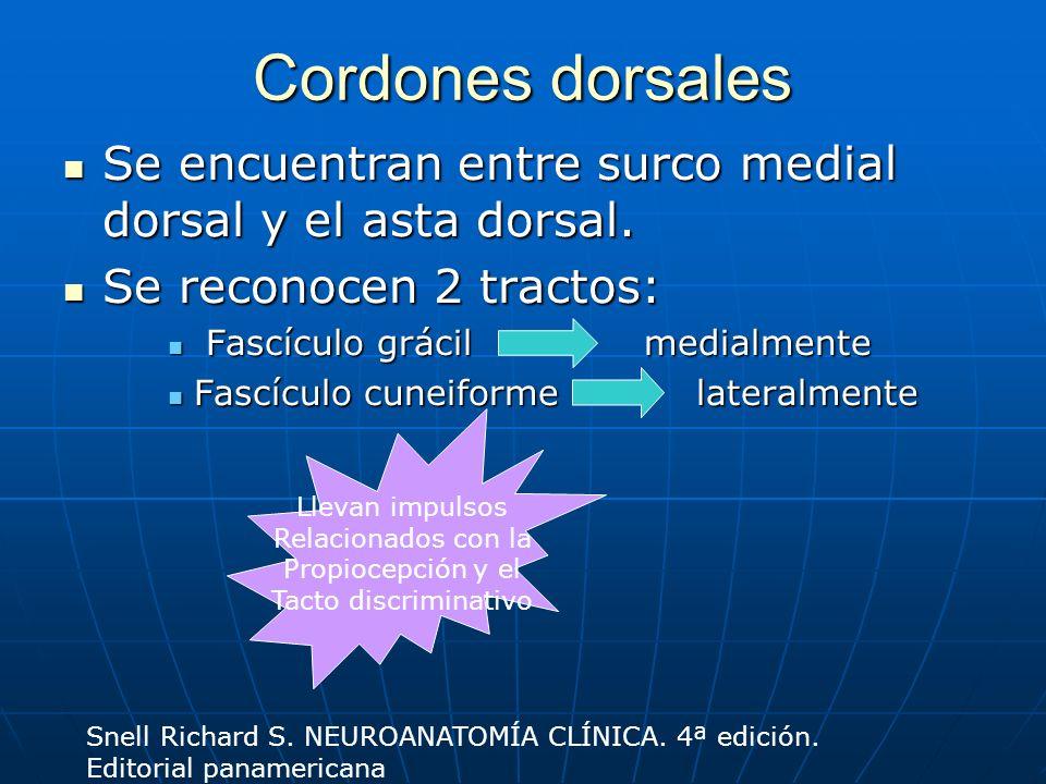 Cordones dorsalesSe encuentran entre surco medial dorsal y el asta dorsal. Se reconocen 2 tractos: Fascículo grácil medialmente.