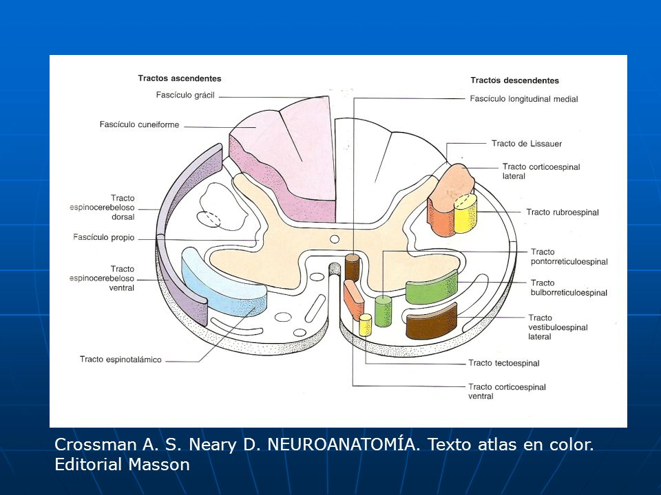 Crossman A. S. Neary D. NEUROANATOMÍA. Texto atlas en color.