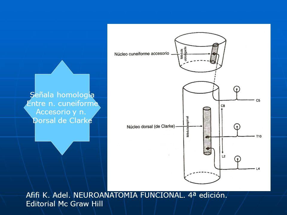 Señala homologíaEntre n. cuneiforme. Accesorio y n. Dorsal de Clarke. Afifi K. Adel. NEUROANATOMIA FUNCIONAL. 4ª edición.