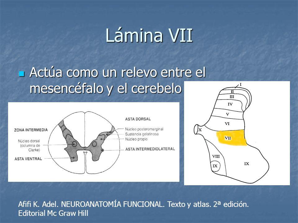 Lámina VII Actúa como un relevo entre el mesencéfalo y el cerebelo