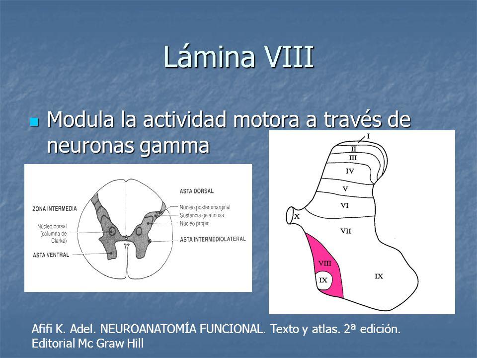 Lámina VIII Modula la actividad motora a través de neuronas gamma