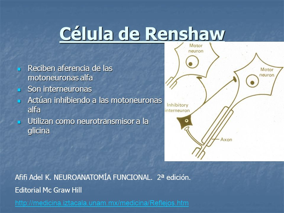 Célula de Renshaw Reciben aferencia de las motoneuronas alfa