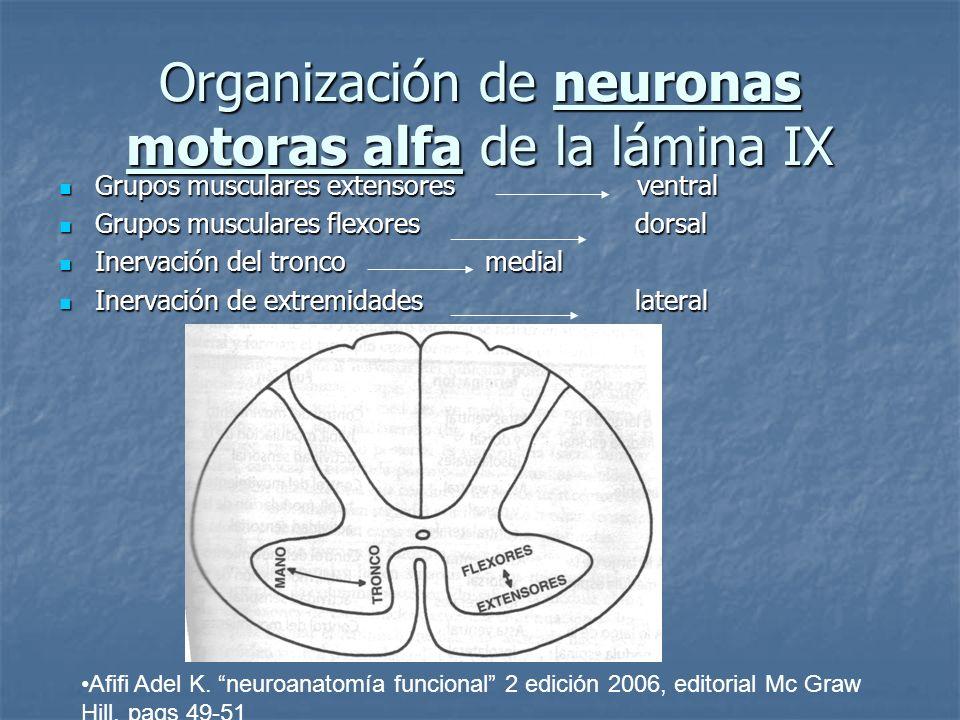 Organización de neuronas motoras alfa de la lámina IX