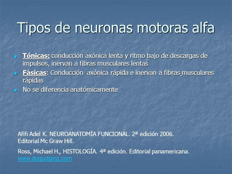 Tipos de neuronas motoras alfa