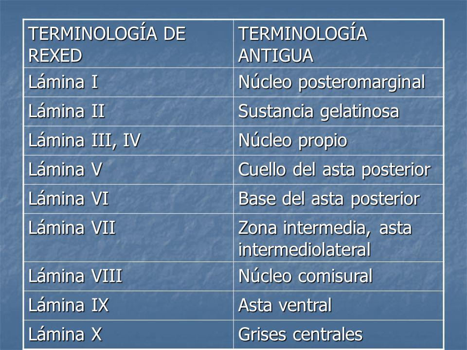 TERMINOLOGÍA DE REXED TERMINOLOGÍA ANTIGUA. Lámina I. Núcleo posteromarginal. Lámina II. Sustancia gelatinosa.