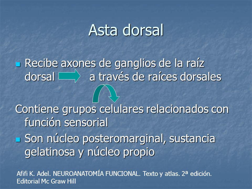 Asta dorsal Recibe axones de ganglios de la raíz dorsal a través de raíces dorsales.