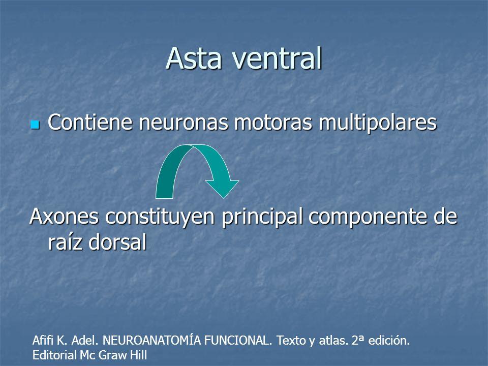 Asta ventral Contiene neuronas motoras multipolares