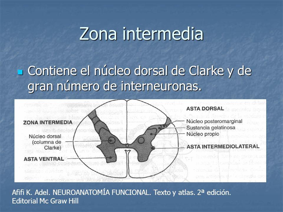 Zona intermediaContiene el núcleo dorsal de Clarke y de gran número de interneuronas.