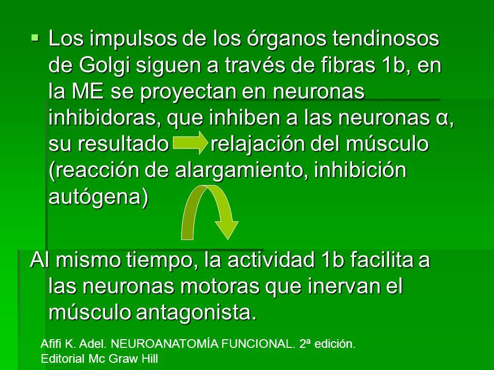 Los impulsos de los órganos tendinosos de Golgi siguen a través de fibras 1b, en la ME se proyectan en neuronas inhibidoras, que inhiben a las neuronas α, su resultado relajación del músculo (reacción de alargamiento, inhibición autógena)