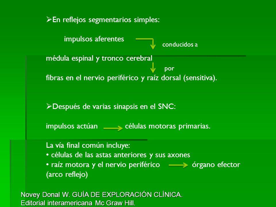 En reflejos segmentarios simples: impulsos aferentes