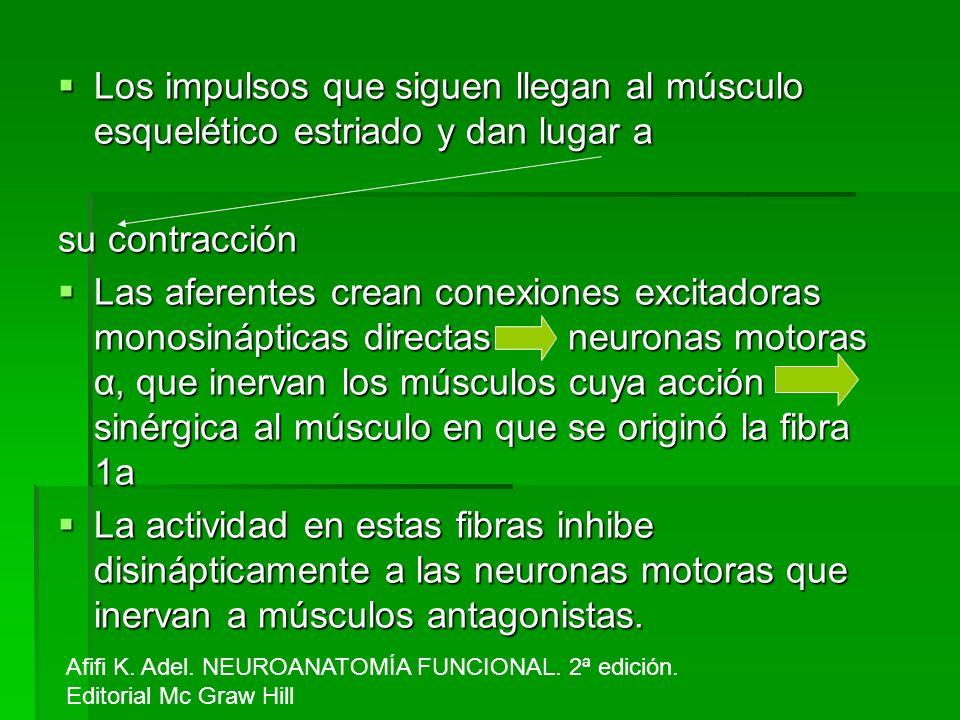 Los impulsos que siguen llegan al músculo esquelético estriado y dan lugar a