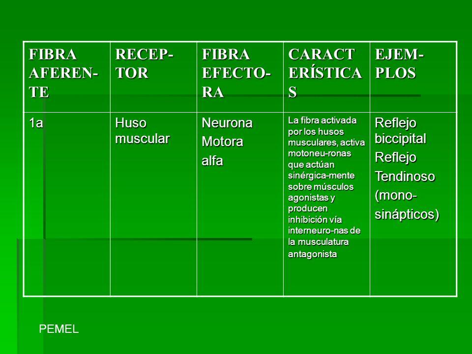 FIBRA AFEREN-TE RECEP-TOR FIBRA EFECTO-RA CARACTERÍSTICAS EJEM-PLOS 1a