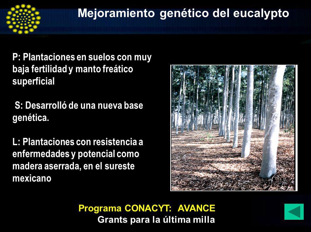 Mejoramiento genético del eucalypto