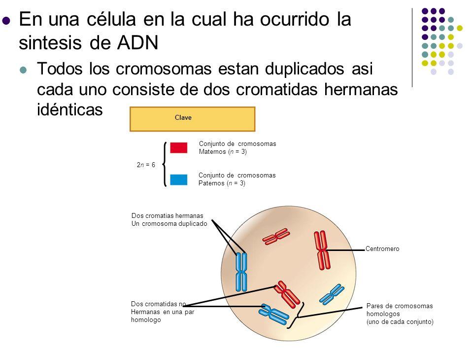 En una célula en la cual ha ocurrido la sintesis de ADN