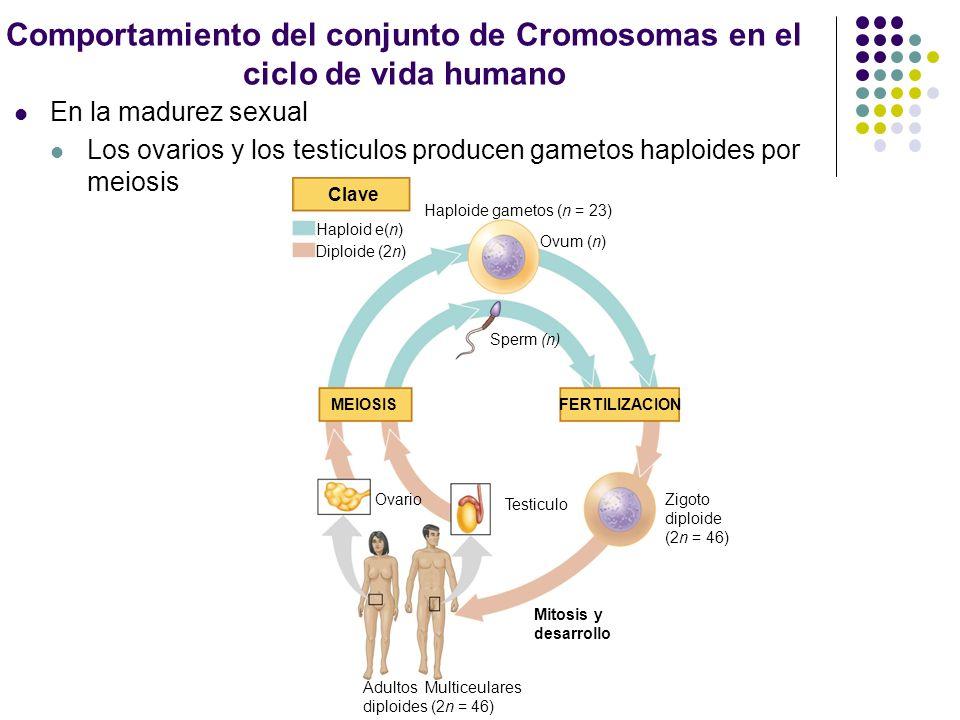 Comportamiento del conjunto de Cromosomas en el ciclo de vida humano