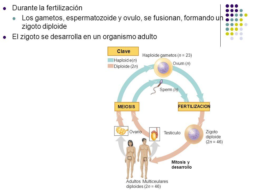 Durante la fertilización