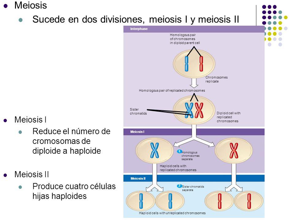 Sucede en dos divisiones, meiosis I y meiosis II