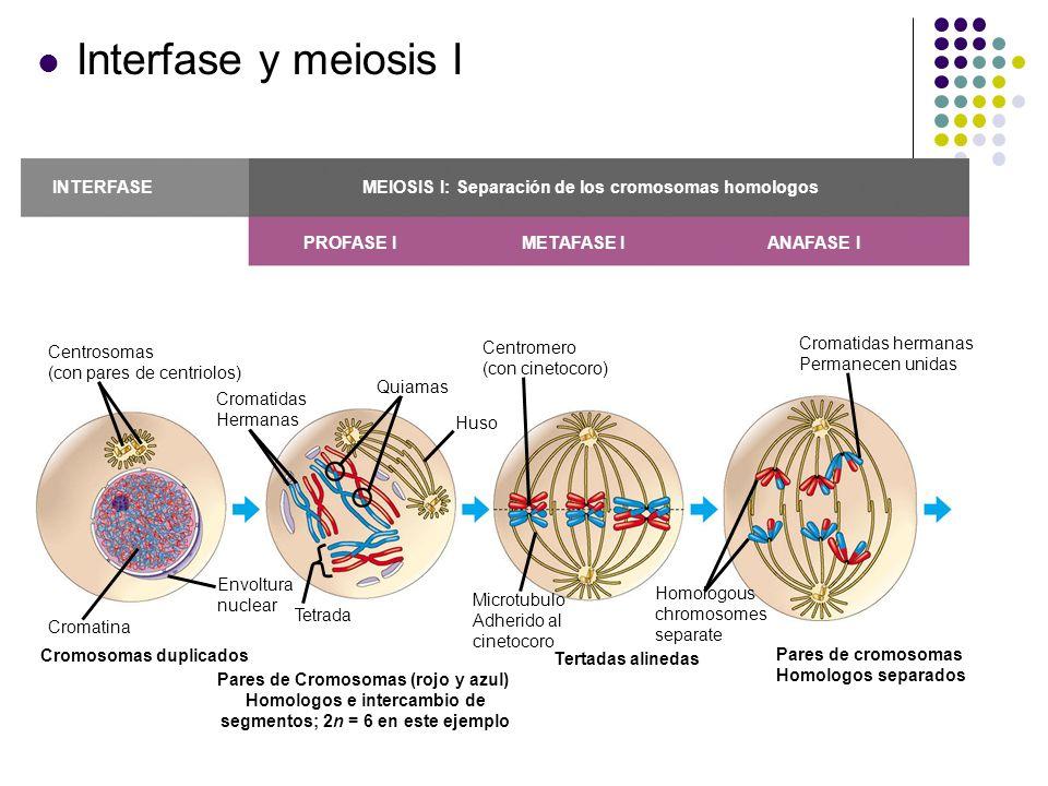 Interfase y meiosis I Centrosomas (con pares de centriolos) Cromatidas