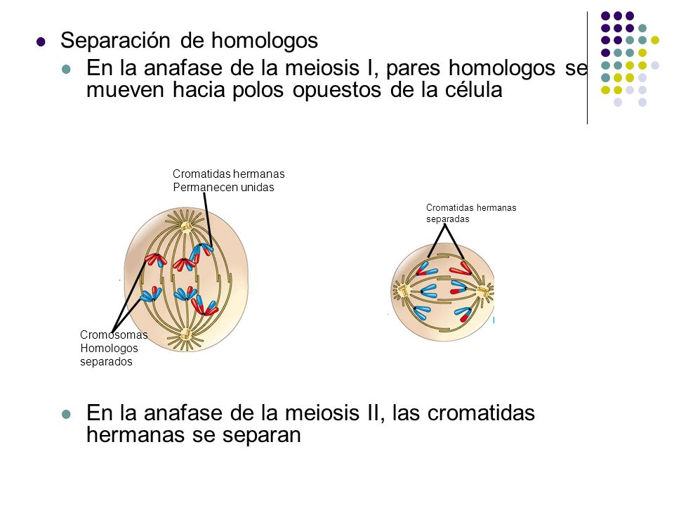 MEIOSIS II: Separates sister chromatids