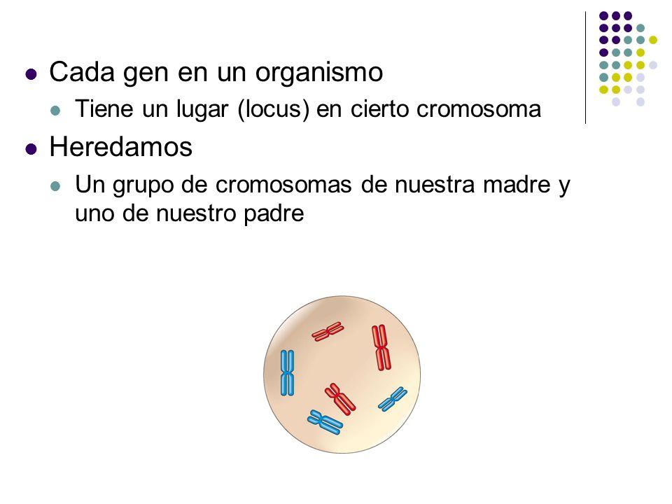 Cada gen en un organismo Heredamos