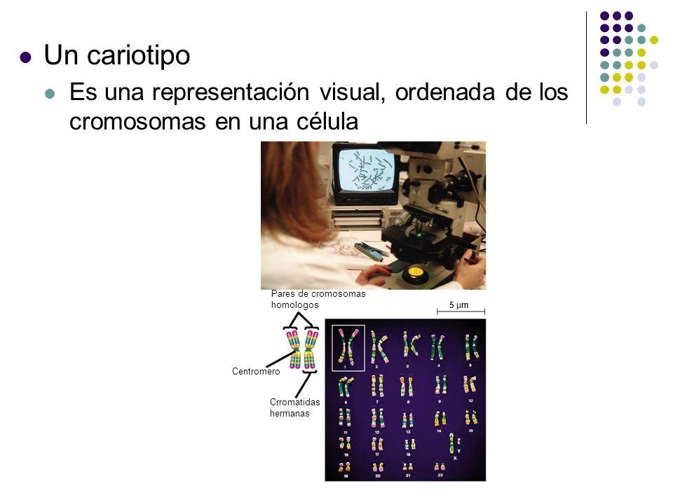 Un cariotipo Es una representación visual, ordenada de los cromosomas en una célula. 5 µm. Pares de cromosomas.