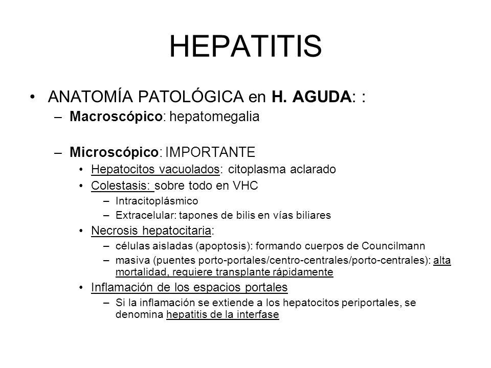 HEPATITIS ANATOMÍA PATOLÓGICA en H. AGUDA: :