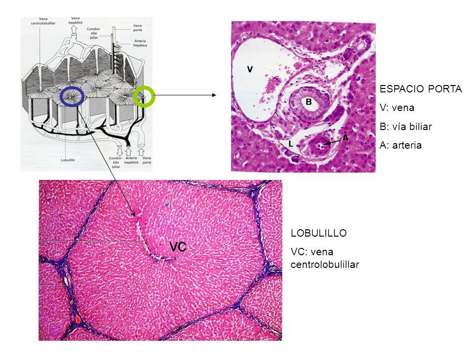 vc ESPACIO PORTA V: vena B: vía biliar A: arteria LOBULILLO