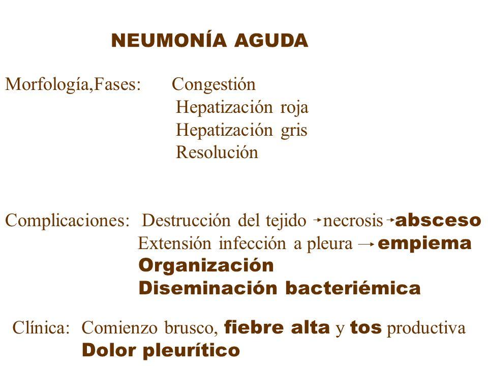 Morfología,Fases: Congestión Hepatización roja Hepatización gris