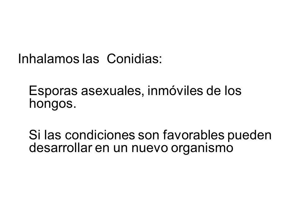 Inhalamos las Conidias: Esporas asexuales, inmóviles de los hongos