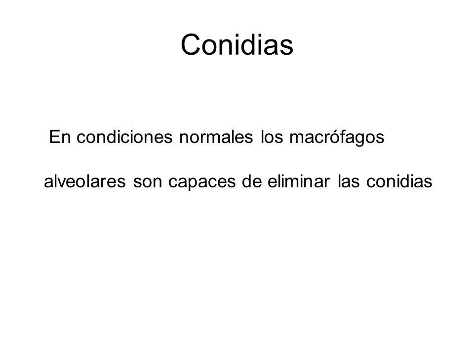 Conidias En condiciones normales los macrófagos