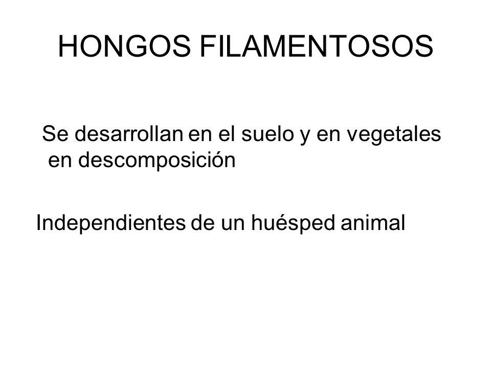 HONGOS FILAMENTOSOS Se desarrollan en el suelo y en vegetales en descomposición.