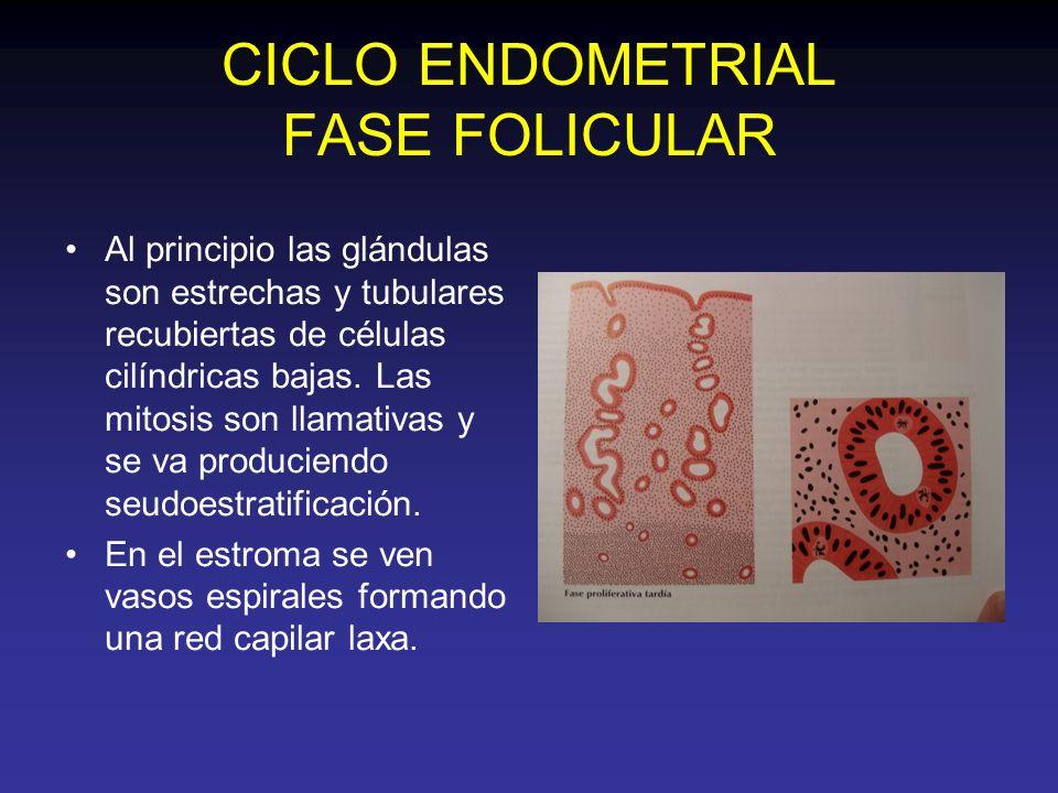 CICLO ENDOMETRIAL FASE FOLICULAR