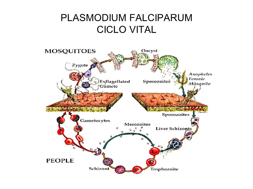 PLASMODIUM FALCIPARUM CICLO VITAL