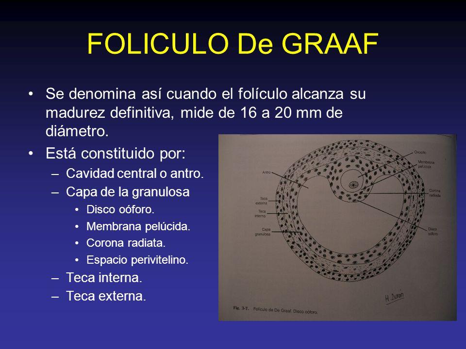 FOLICULO De GRAAF Se denomina así cuando el folículo alcanza su madurez definitiva, mide de 16 a 20 mm de diámetro.