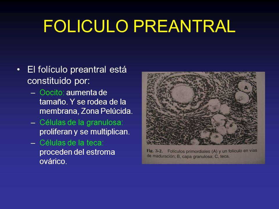 FOLICULO PREANTRAL El folículo preantral está constituido por: