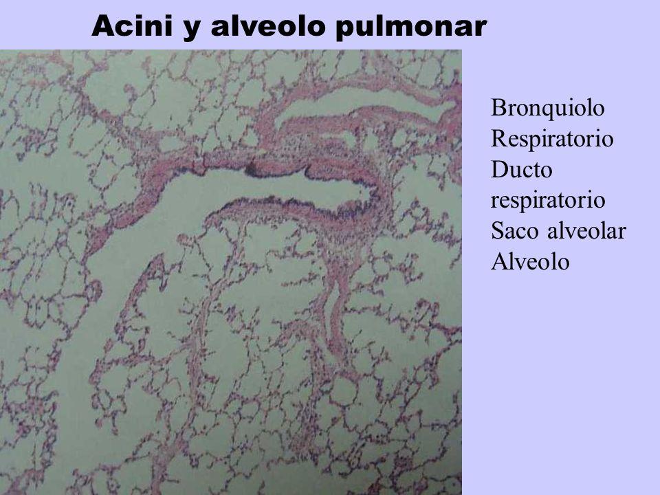 Acini y alveolo pulmonar