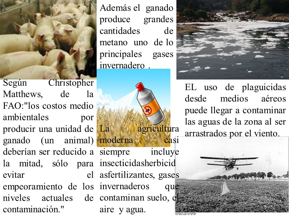 Además el ganado produce grandes cantidades de metano uno de lo principales gases invernadero .