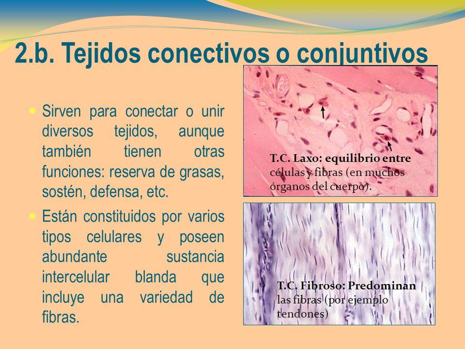 2.b. Tejidos conectivos o conjuntivos