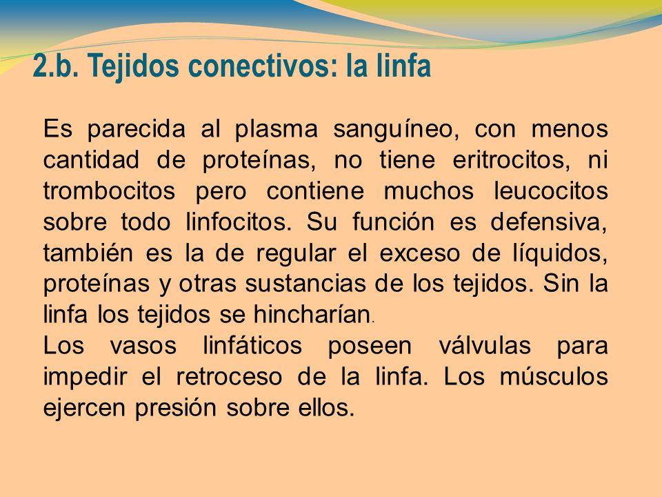 2.b. Tejidos conectivos: la linfa
