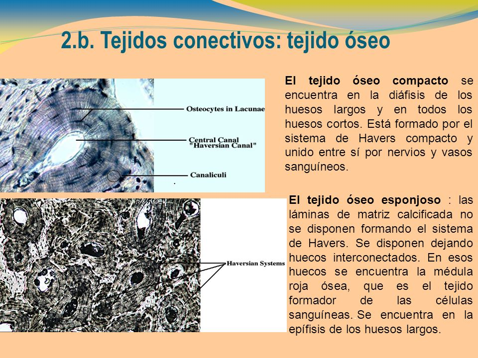 2.b. Tejidos conectivos: tejido óseo