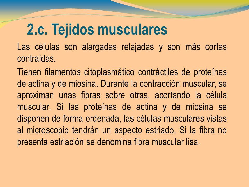 2.c. Tejidos musculares Las células son alargadas relajadas y son más cortas contraídas.
